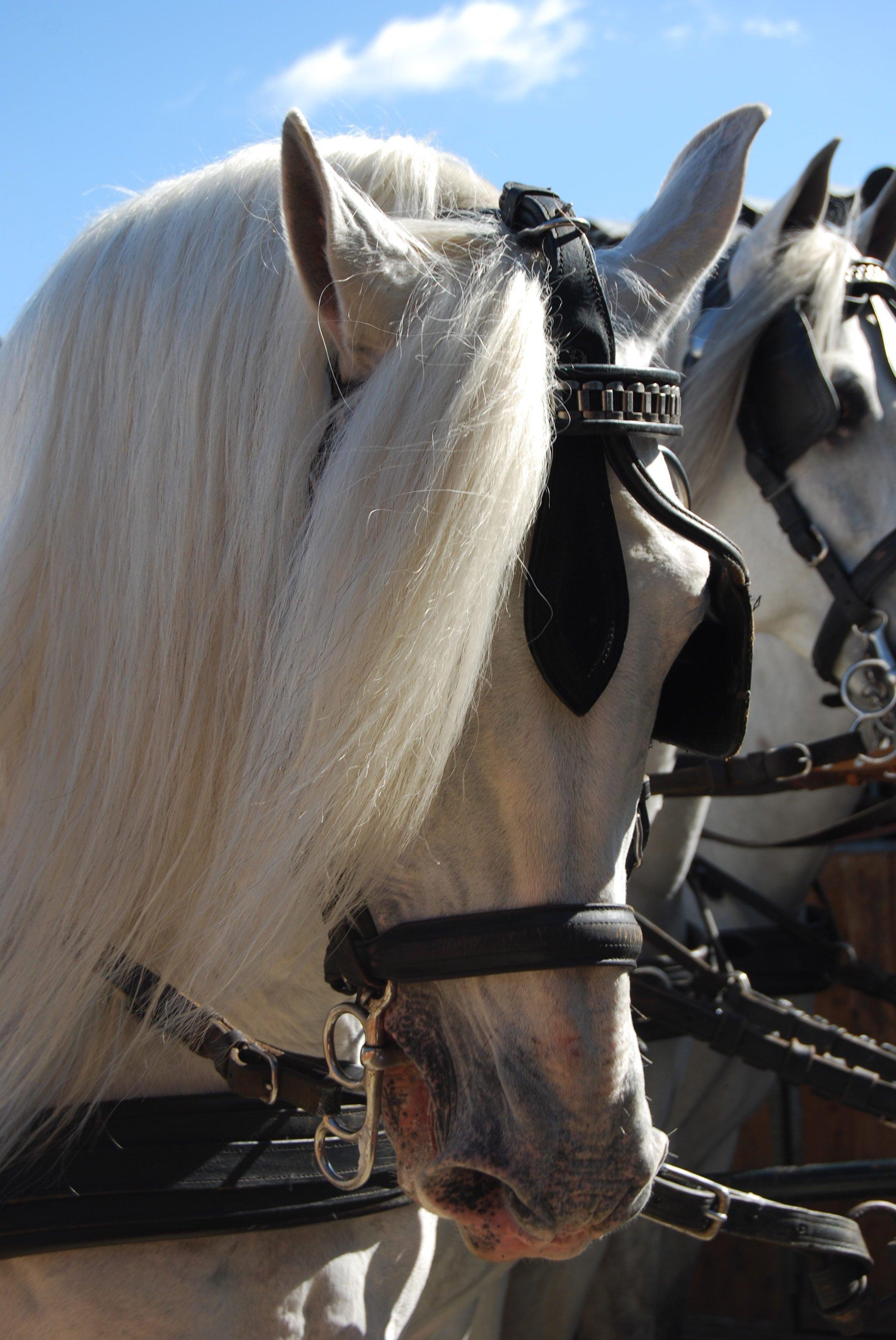 Foto di un cavallo bianco